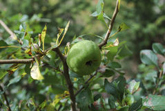 Chaenomeles japonica green fruit. Stock Photos