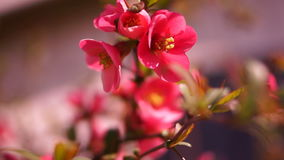 Chaenomeles japonica, Japanese Flowering Quince