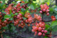 Chaenomeles japonica or Japanese quince royalty free stock photos