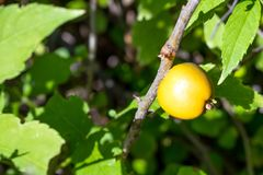 Chaenomeles, japonica, Japanese Quince, Maule's Quince, Quitte C royalty free stock photos