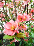 Chaenomeles japonica, Japanese Quince, tree royalty free stock photography