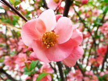 Chaenomeles japonica, Japanese Quince, tree Stock Photos