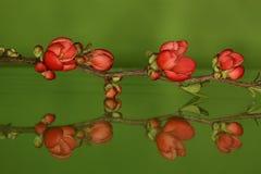 Chaenomeles japonica, Japanse sierkwee Stock Photos