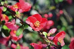 Chaenomeles japonica pink tree flowers, Maule`s quince, Gutuiul japonez,. Outdoor close up Royalty Free Stock Image