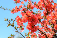 Chaenomeles japonica pink tree flowers,  Maule`s quince Stock Photos