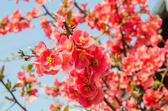 Chaenomeles japonica pink tree flowers,  Maule`s quince Stock Photography