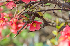Chaenomeles japonica pink tree flowers,  Maule`s quince Stock Images