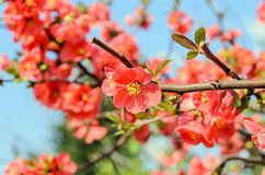 Chaenomeles japonica pink tree flowers,  Maule`s quince Royalty Free Stock Photography