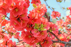 Chaenomeles japonica pink tree flowers,  Maule`s quince Royalty Free Stock Images