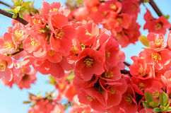 Chaenomeles japonica pink tree flowers,  Maule`s quince Royalty Free Stock Image