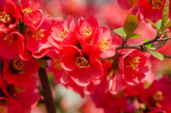 Chaenomeles japonica pink tree flowers,  Maule`s quince Stock Photo