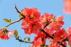 Chaenomeles japonica pink tree flowers,  Maule`s quince Stock Image