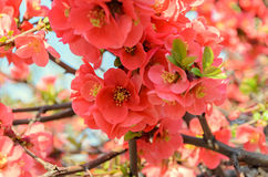 Chaenomeles japonica pink tree flowers,  Maule`s quince Royalty Free Stock Photos
