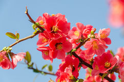 Chaenomeles japonica pink tree flowers,  Maule`s quince Royalty Free Stock Photo