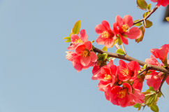 Chaenomeles japonica pink tree flowers,  Maule`s quince. Gutuiul japonez, outdoor close up Royalty Free Stock Photos