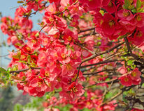 Chaenomeles japonica pink tree flowers,  Maule`s quince. Gutuiul japonez, outdoor close up Stock Images