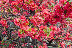 Chaenomeles japonica pink tree flowers,  Maule`s quince. Gutuiul japonez, outdoor close up Royalty Free Stock Photo