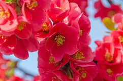 Chaenomeles japonica pink tree flowers,  Maule`s quince. Gutuiul japonez, outdoor close up Stock Image