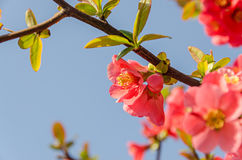Chaenomeles japonica pink tree flowers,  Maule`s quince. Gutuiul japonez, outdoor close up Stock Photo