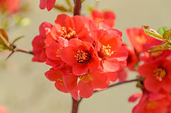 Chaenomeles japonica pink tree flowers,  Maule`s quince. Gutuiul japonez, outdoor close up Royalty Free Stock Image