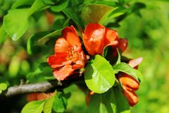 Chaenomeles japonica, red flowers among green leaves royalty free stock image