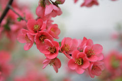 Chaenomeles japonica. Is a species of Japanese Quince stock image
