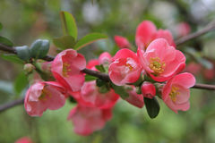 Chaenomeles japonica Stock Photo