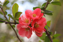 Chaenomeles japonica Stock Image