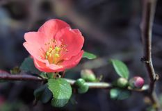 Chaenomeles japonica Royalty Free Stock Photography