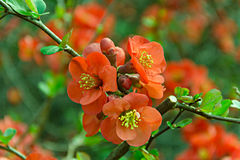 Chaenomeles japonica  spring flowers red. Stock Image
