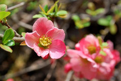 Chaenomeles Pink Flower Royalty Free Stock Photography