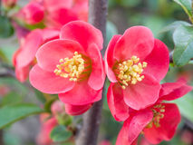Chaenomeles speciosa (chinese quince flowers ). Spring flowers series, red flowers on the branches flowering chaenomeles speciosa (chinese quince flowers stock photos