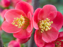 Chaenomeles speciosa (chinese quince flowers ). Spring flowers series, red flowers on the branches flowering chaenomeles speciosa (chinese quince flowers stock images