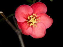 Chaenomeles speciosa (chinese quince flowers ). Spring flowers series, red flowers on the branches flowering chaenomeles speciosa (chinese quince flowers royalty free stock images