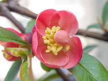 Chaenomeles speciosa (chinese quince flowers ). Spring flowers series, red flowers on the branches flowering chaenomeles speciosa (chinese quince flowers stock image