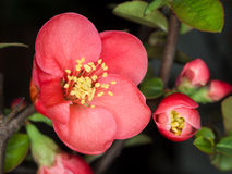 Chaenomeles speciosa (chinese quince flowers ). Spring flowers series, red flowers on the branches flowering chaenomeles speciosa (chinese quince flowers royalty free stock photos