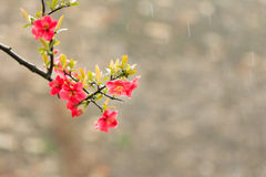 Chaenomeles speciosa. Early spring before flowering, then leaves, very beautiful stock image