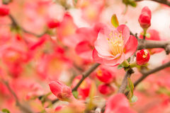 Chaenomeles speciosa. Early spring before flowering, then leaves, very beautiful royalty free stock photography