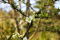 Chaenomeles speciosa. Flowering quince has white flowers stock photography
