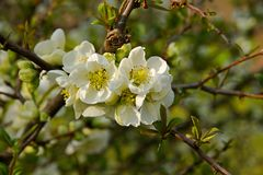 Chaenomeles speciosa. Flowering quince has white flowers royalty free stock photo