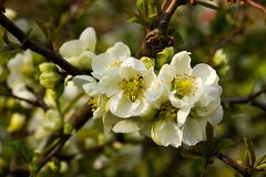 Chaenomeles speciosa. Flowering quince has white flowers royalty free stock photography