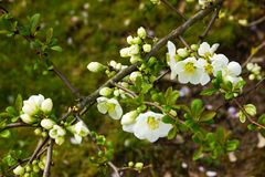 Chaenomeles speciosa. Flowering quince has white flowers royalty free stock photos