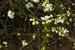 Chaenomeles speciosa. Flowering quince has white flowers stock images