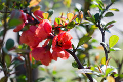 Chaenomeles speciosa. Red Chaenomeles speciosa Flowers in the Sunset stock photo