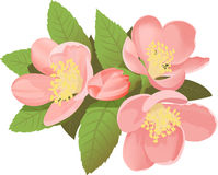 chaenomelesblommajaponica Royaltyfria Bilder