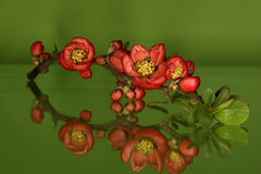 Chaenomelesjaponica, Japanse-sierkwee Royalty-vrije Stock Foto