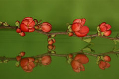 Chaenomelesjaponica, Japanse sierkwee Arkivfoton