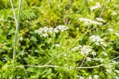 Chaerophyllum bulbosum L.. Stock Photography