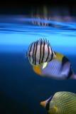 chaetodon热带鱼的octofasciatus 库存图片