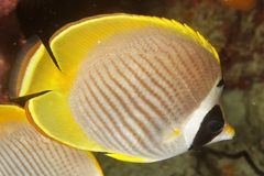 Chaetodon adiergastos - Panda butterflyfish Stock Image